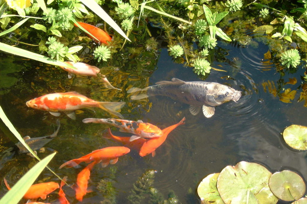 fish pond mistakes