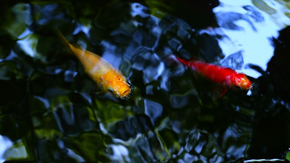 What Types Of Fish Can You Keep Outdoors In A Garden Pond Pond World